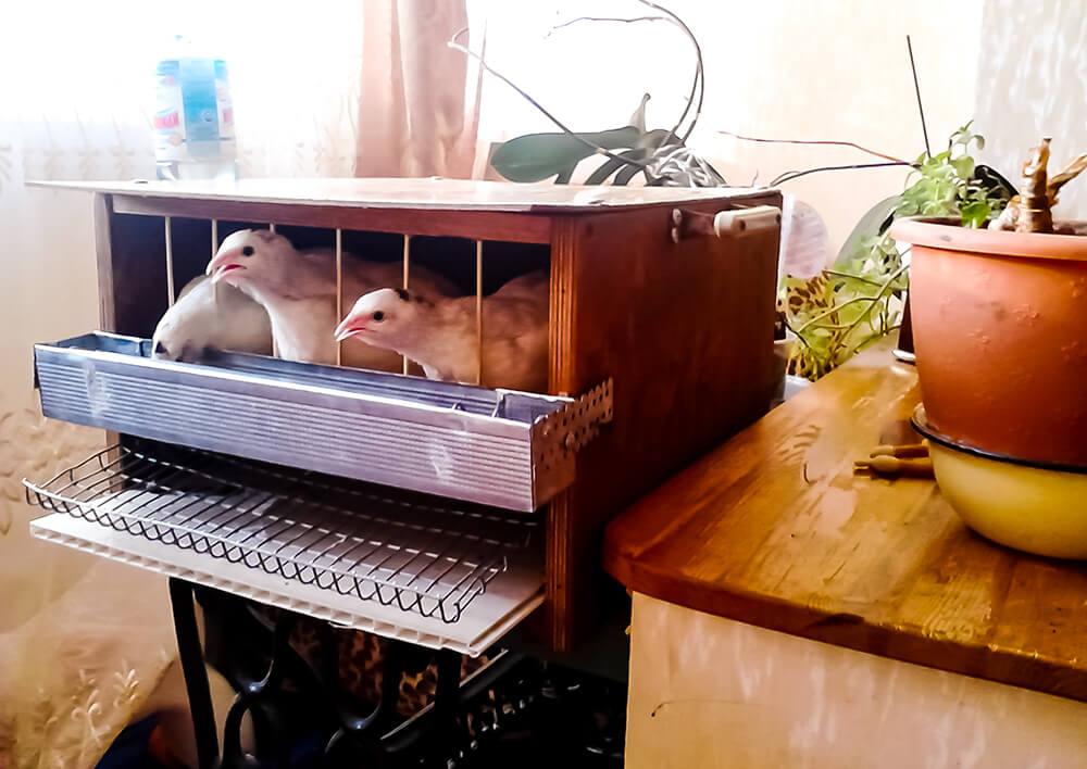 Содержание перепелов в квартире