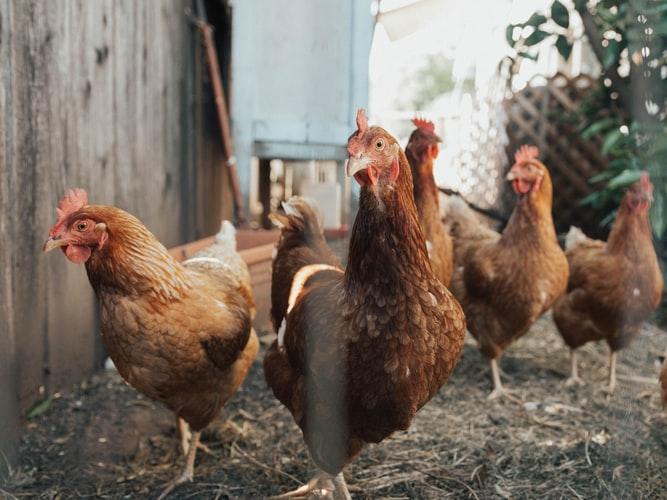 Бизнес на яйцах – породы кур