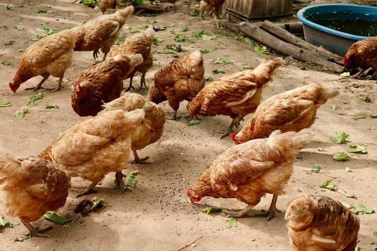 Как заработать на куриных яйцах