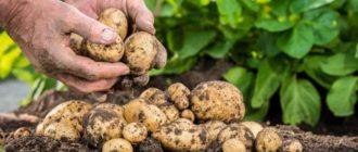Выравнивание картофеля — бизнес