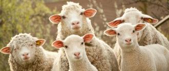 Овцеводство как бизнес-идея
