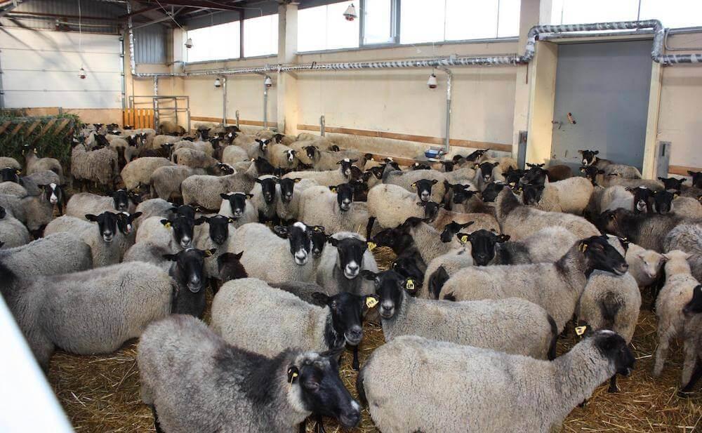 Разведение овец как бизнес - плюсы и минус