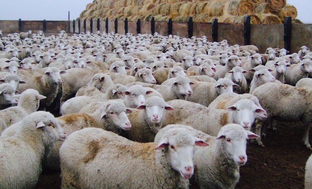 Выбор породы и закупка родительского стада